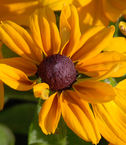 Photo of a Rudbeckia flower